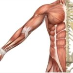 apa itu pengertian otot